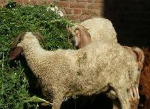 خروف العيد والعقيقة والنذر