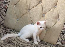 قطه مع عيالها اثنين شيرازيات