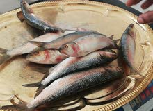بيع الاسماك الطازجه