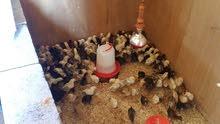 للبيع صيصان دجاج محلي