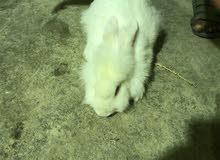 ارنب للبيع بسعر 60 ربال