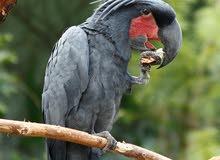 مطلوب palm cockatoo  (مطلووب)