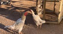 دجاج وحمام