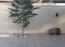 شجرة عيدالميلاد((ايطالية))