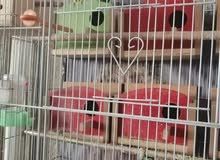 قفص مع طيور حب عاديات العدد 4