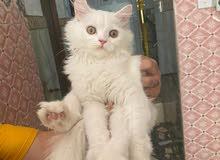 قط شيرازي نقي