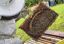 عسل الزريكة او الشوك الدغموس الخروب