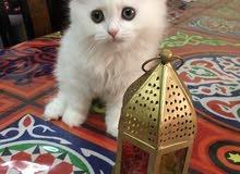 قطة صغيرة بيضاء شيرازية