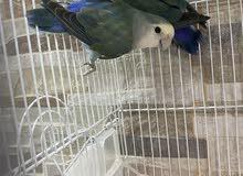 طيور حب