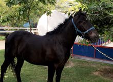 حصان بوني