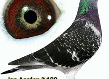 Need same eye sign homer pigeon