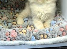 قطط كيتن اميريكان كيرل