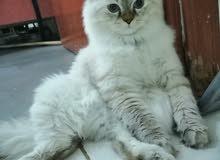 قط هملايا ذكر للتزاوج