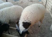 غنم من فصيلة البرقي الصحراوي للبيع