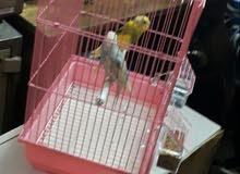 طير لبيع