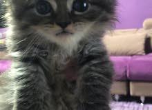 قطط صغيره للبيع 45 يوم عمر القطه شيرازي