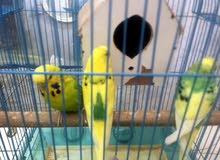 للبيع. طيور. بادجي. 4