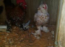 دجاجه وا فروج زهري