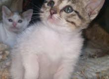 قطط عراقية افحل  ونثاية