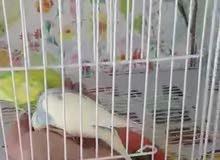 بيع طيور بادجي 10 بادجي مع القفص