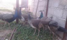 طاووس 3اجواز