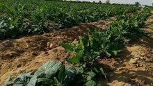 مزرعه للبيع 50 فدان للبيع
