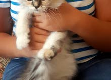 Persian trained  kitten for sale with all items