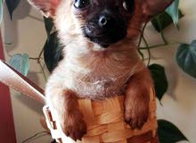 Chihuahua & Jack Russell's Puppies Available