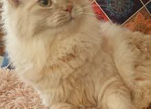 قطط ذكور وانثى شيرازيات