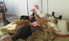 دجاج رومي للبيع او البدل ب كوكتيل
