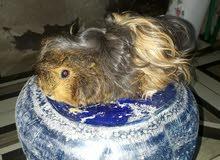زوج ارنب غيني شعر