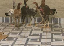 دجاج هندي 2 من الدجاج بياض و3 بشاير والديك بحاله ممتازه للبيع