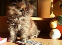 قطه شيرازييه اصليه