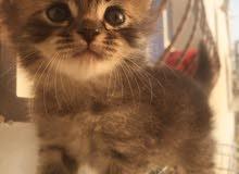 قط شيرازي لون التايغر للبيع
