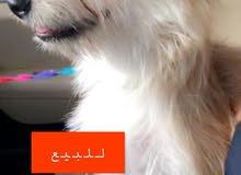 94d7bf19b كلاب الهاسكي و السلق و البيتبول للبيع في السعودية