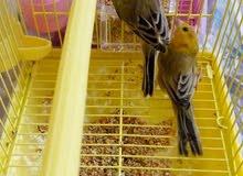 طيور زينة ملونة 4طيور للبيع