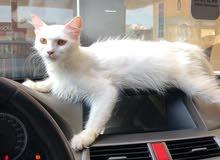 قطوه شيرازيه أنثى
