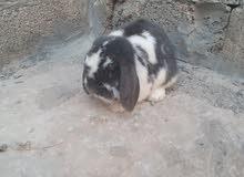 ارانب  لوب ميني