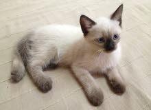قط siamois
