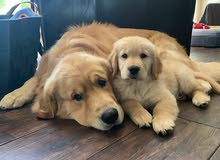 Pure Breed Golden Retriever Puppies Available