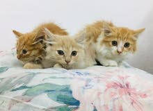3 Persian Kittens for URGENT Sale!