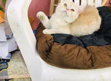 British kitten ginger 4 months male