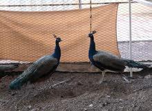 2 طاووس هولندي ذكر للبيع