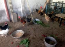 للبيع دجاج فرنسي وبصري ومحلي للبيع