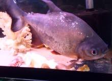 سمك بيرانا  طول من30يا35سعر35