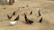 عندي دجاج عربي 12 دجاجه و 2 فراريج