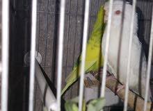 طيور حب مع فراخها
