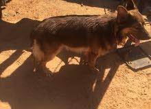 كلب عمره8شهور