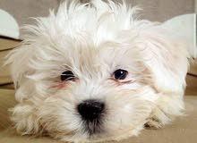 كلب فرنش تيرير انثى للبيع