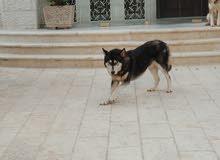هاسكي  husky